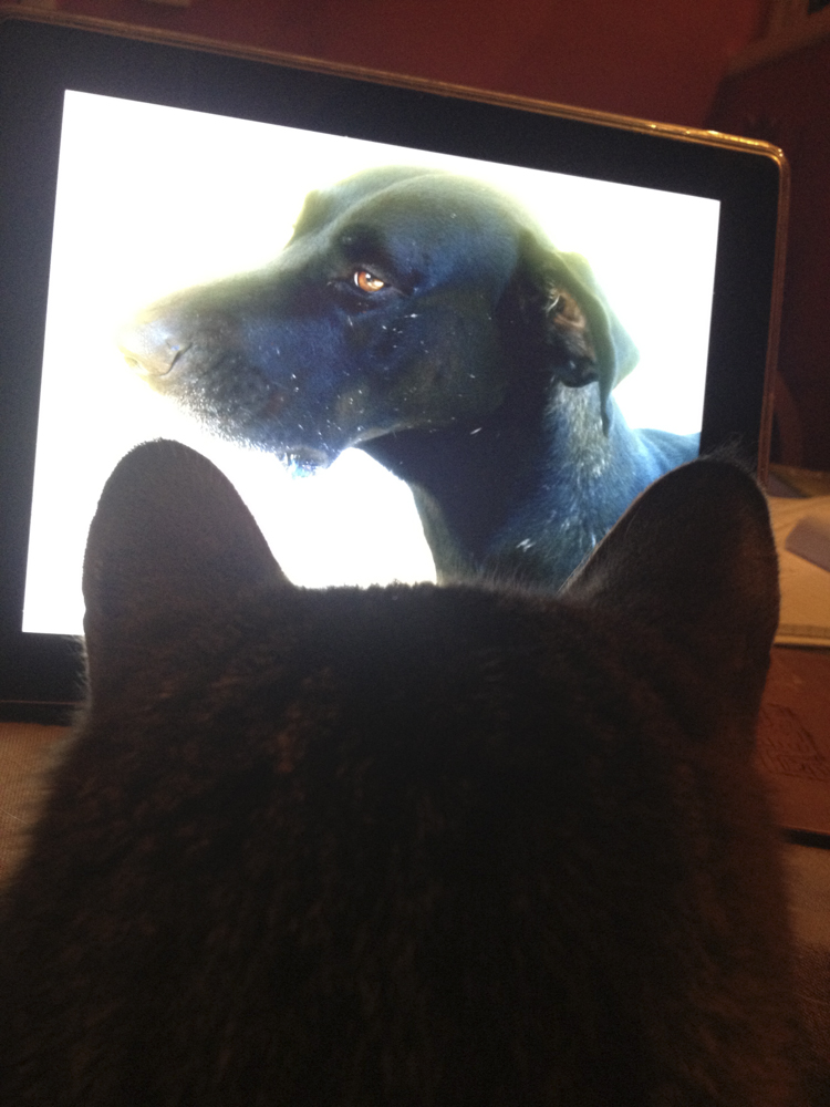 Cat looking at the photo of a dog