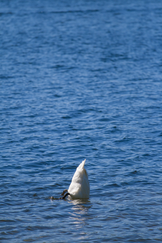 Half swan plunging in the lake