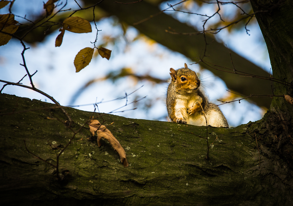 A squirrel scratching his belly